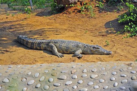 alligator eyes: The crocodile Stock Photo