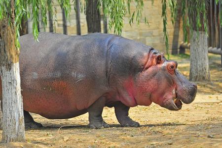 hippopotamus: Hipop?tamo