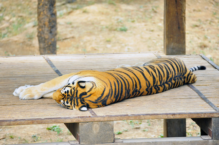 tigresa: The tiger