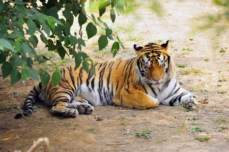 tigress: The tiger
