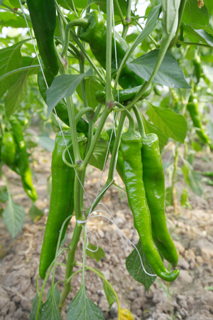 greenhouses: Green pepper grown in greenhouses