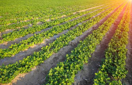 primeval: Peanut fields Stock Photo
