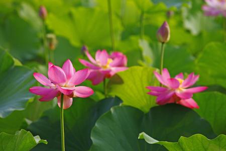 lotus flowers: lotus flowers