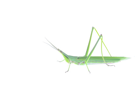 The locusts, a kind of orthoptera insects