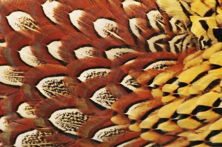 pheasant feather texture