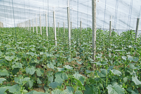 collocation: Melon grown in greenhouses Editorial
