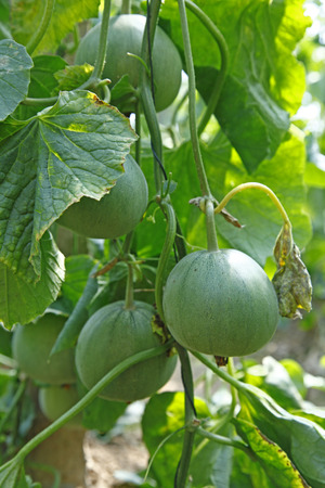 collocation: Melon grown in greenhouses Stock Photo