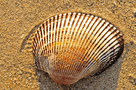 sea fans: Beautiful shells on the beach