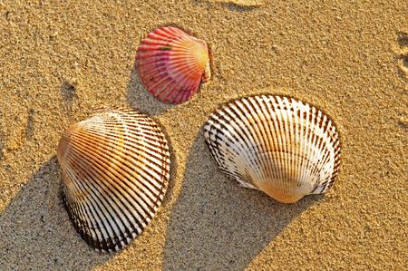 sea fans: shells on the beach Stock Photo