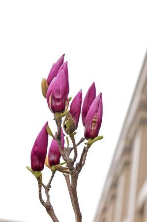 magnolia flowers Stock Photo