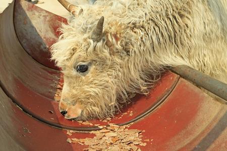 yak Stock Photo