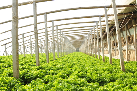 Lettuce grown in a plantation Editorial
