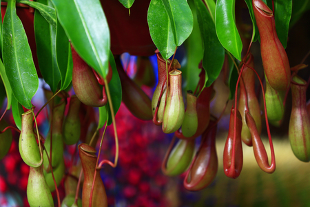 Tropical pitcher plants in the garden Stock Photo