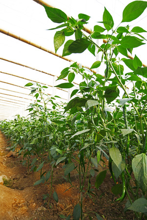 Green pepper grown in greenhouses