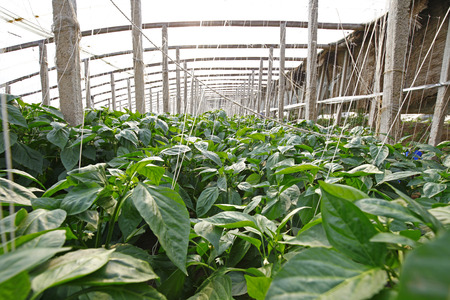 glasshouse: Green pepper grown in greenhouses