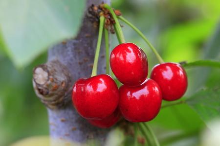 Large cherry Stock Photo
