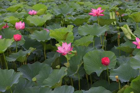 lotus in a lotus pond Stock Photo
