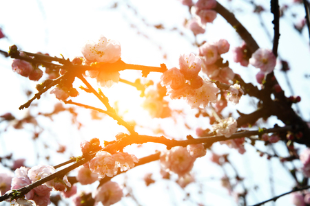 Blooming cherry blossom Stock Photo