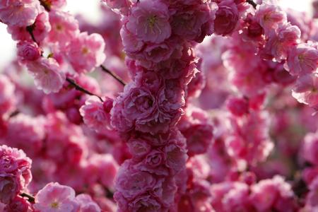 Blooming cherry blossom Stock Photo
