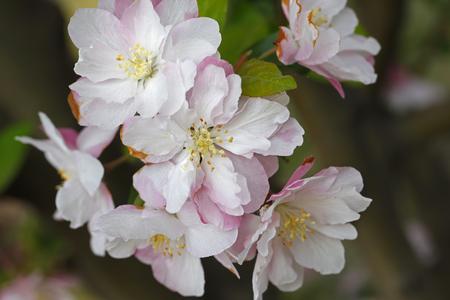 arbol de pascua: floración china floración manzana silvestre Foto de archivo
