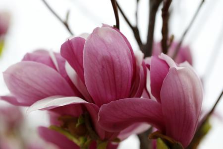 magnolia blooming