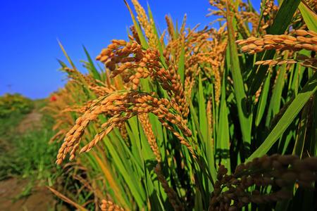 The autumn rice fields  Stock Photo