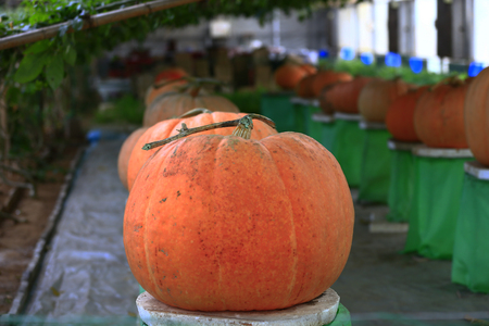 Mature orange pumpkin