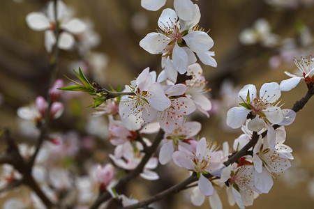 Apricot flowers blooming  Banque d'images