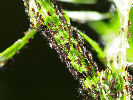 Aphids close-up Stock Photo