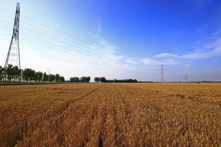The mature wheat Imagens