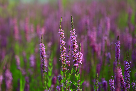 The beauty of the lavender