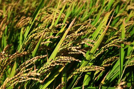The autumn rice fields