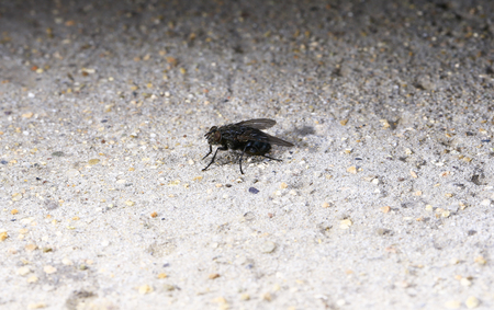 Fly on the ground