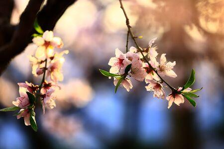 brzoskwiniowy kwiat
