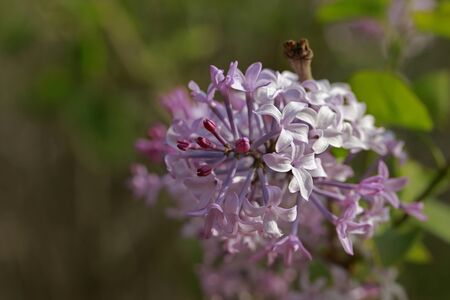 purple lilac bush flover closeup