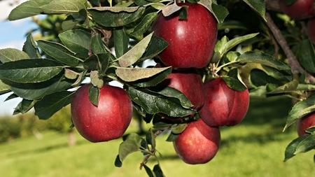 picking: Apple Picking Stock Photo
