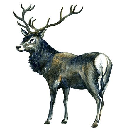 venado: Ciervos hermoso lindo aislado, pintura de la acuarela en el fondo blanco