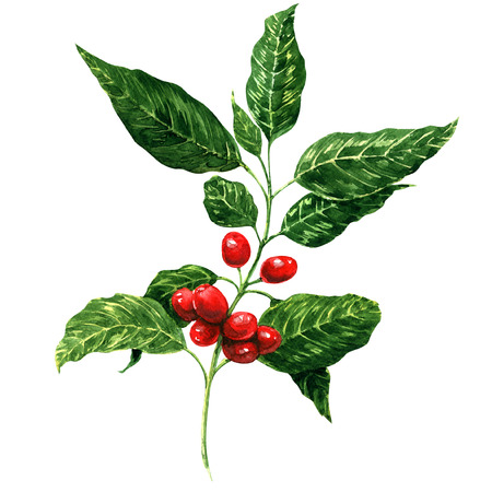 ブランチ、水彩の赤いコーヒー豆絵画、ホワイト バック グラウンド