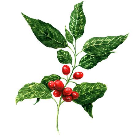 cafe colombiano: Frijoles rojos de café en la ramificación, pintura a la acuarela, fondo blanco Foto de archivo