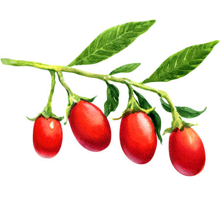 wolfberry: fresh goji berries isolated, watercolor painting on white background Stock Photo