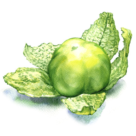 husk tomato: green tomatillo fruit isolated, watercolor painting on white background