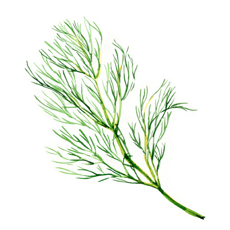 dill: Green dill isolated, watercolor painting on white background