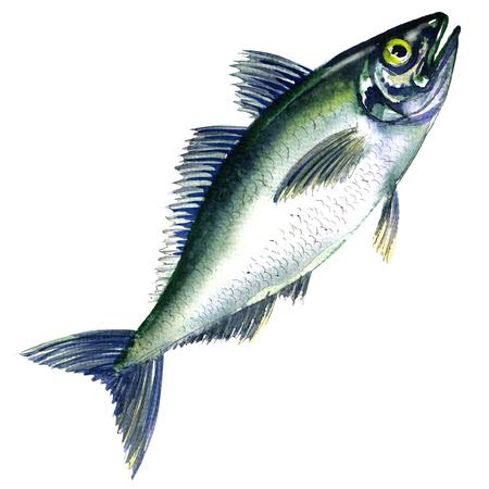 mackerel: Fresh horse mackerel, or Japanese jack mackerel isolated, watercolor painting on white background