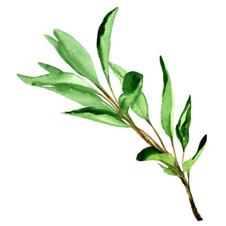 세이지, 흰색 배경에 고립 수채화 그림을 나뭇잎