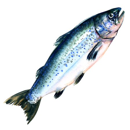 peces: toda Salmo Salmón del Atlántico aislados solar, pintura a la acuarela en el fondo blanco