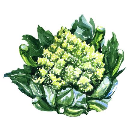 白地グリーン新鮮なロマネスコ ブロッコリーまたはローマのカリフラワーの水彩画