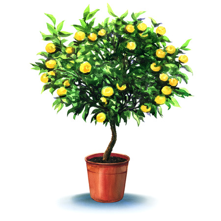 tangerine: small tangerine tree in pot isolated, watercolor painting on white background