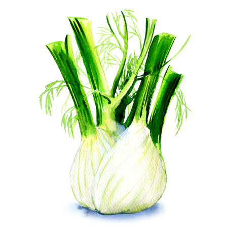 Fresh fennel bulb isolated, watercolor painting on white background Stock Photo