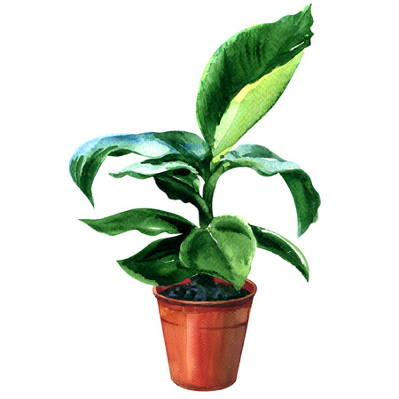 subtropics: Young banana tree in pot isolated, watercolor painting on white background