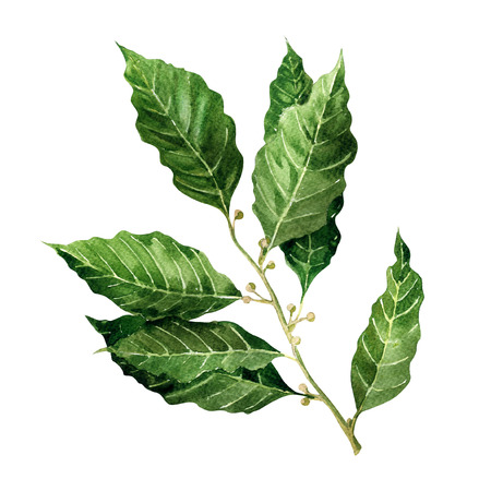 Fresh Bay Leaves branch isolated, watercolor painting on white background